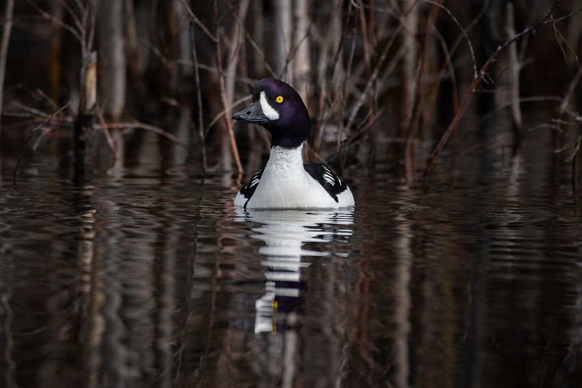 Barrow's Goldeneye (Bucephala islandica) in Southcentral Alaska. Photo by James R. Evans