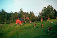 New England farm scenic with red barn and cows in the field. Lancaster, New Hampshire.