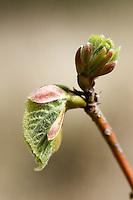 Hollandse linde (Tilia cordatra x platyphylla)