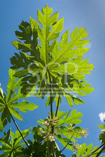 Xingu Indigenous Park, Mato Grosso State, Brazil. Aldeia Tres Irmaos (Kaiabi). Papaya (mamão) flower and leaves.
