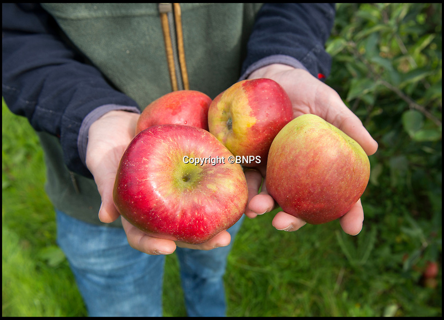 BNPS.co.uk (01202 558833)<br /> Pic: LeeMcLean/BNPS<br /> <br /> Dobsons Choice - Will Dobson of Hill Farm Orchards in Hampshire lost most of his crop to frost, and now is holding a P-Y-O weekend as the supermarkets won't accept the rest.<br /> <br /> Apple growers who were left reeling after an arctic frost decimated their crop are faced with a double whammy because supermarkets will not stock their healthy produce which has unusual markings.<br /> <br /> The apples grown at Hill Farm Orchard in Swanmore, Hants, have 'frost eye', a scorching mark which resembles a ring around them caused when temperatures plummeted to -4C in April.<br /> <br /> Although their Gala and Cox apples are the right size and taste identical to the usual crop, they are being turned away by supermarkets because of their appearance.<br /> <br /> As a result, they have decided to keep hold of them and instead organise a pick your own weekend so consumers can get their apples direct from the orchard.