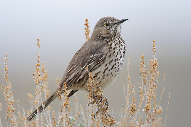 Adult Sage Thrasher (Oreoscoptes montanus). Freemopnt County, Wyoming. April.