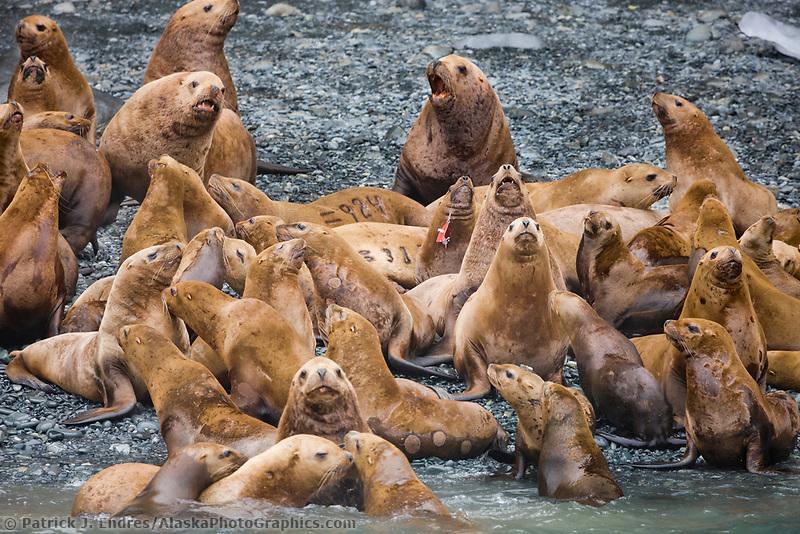 Steller sea lions, Boar's head, Prince William Sound, Alaska.