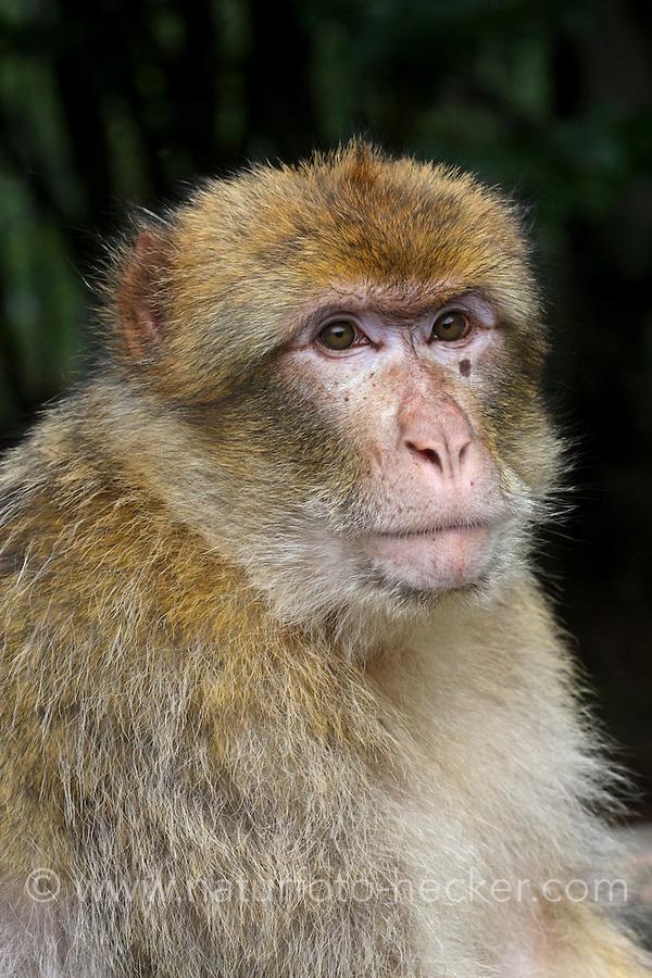 Berberaffe, Magot, Makake, Affe, Affen, Macaca sylvanus, Barbary macaque, Barbary ape, magot, Magot Commun