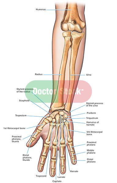 how to get bigger wrist bones