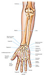 Anatomy of the Forearm (Arm) and Hand Bones.