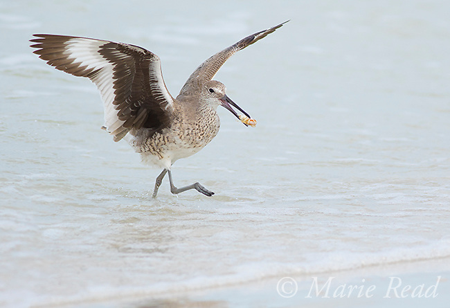 Willet (Catoptrophorus semipalmatus) running out of surf carrying prey, Fort De Soto Park, Florida, USA<br />