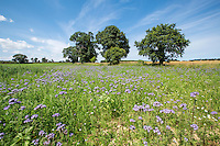 Phacelia in a field corner - Norfolk, July