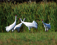 Adult whooping cranes. On the morning of Nov 19, 2015 I was treated to a rare sight at pond in the town of Lamar across St Charles Bay from the Aransas Wildlife refuge.Seven adult whooping cranes, which I determined to be three pairs plus one adult single, were feeding very close together. I have never seen this before as whooping cranes always (almost!) feed in a family group consisting of two adults plus their one or sometimes two chicks. In this case there were no young birds suggesting unsuccessful nesting for these birds. There was quite a bit of displaying with paired, evidently, cranes marching side by side with bills pointed up and wings drooping. After a while two pairs flew off leaving one pair and the single crane. The three cranes continued feeding close to each other with frequent fights between the male (I assume) of the pair and the single crane. I'm sure there was a lot of calling as I could see bills open but I couldn't hear them because of my deafness.<br />