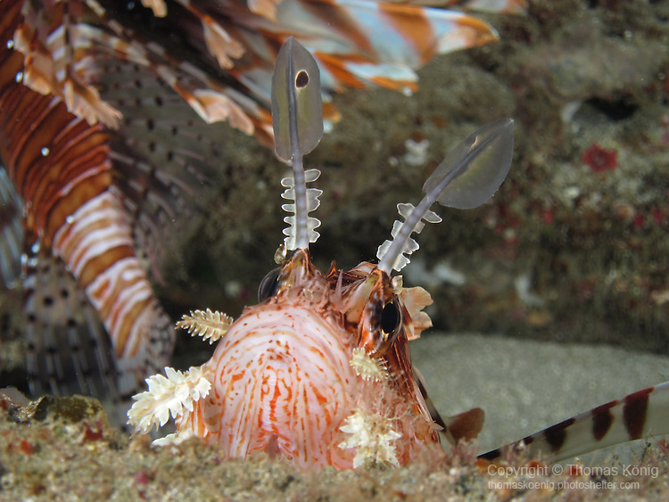 Kenting, Taiwan -- Common lionfish, Pterois volitans, in a lionfish 'lair' under a rock ledge.