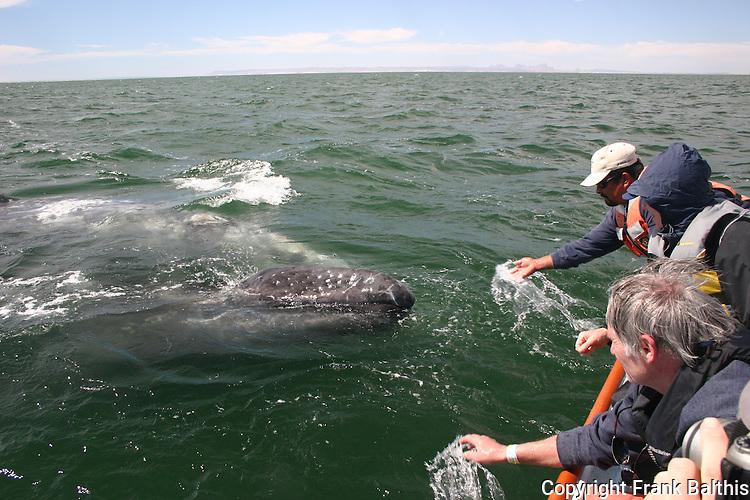 gray whale cow and calf, Laguna San Ignacio