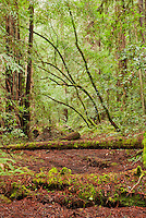 Big Hendy Grove, Hendy Woods State Park, California