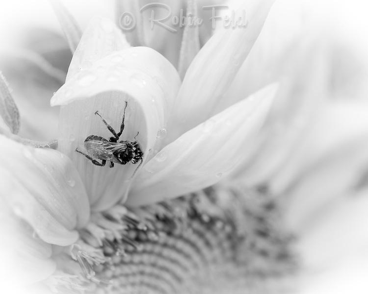 Bee on flower: Black & white photo