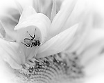 Bee on flower: Black & white photo
