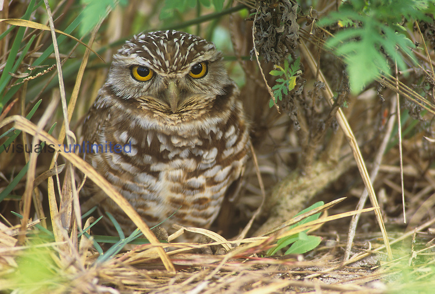 Burrowing Owl (Athene cunicularia), Florida, USA.