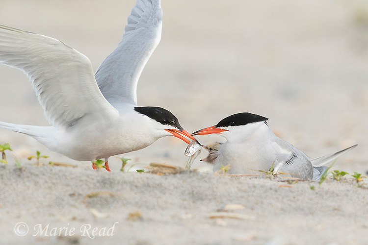 Common Terns (Sterna hirundo) pair at nest, one offering fish to chick being brooded, Nickerson Beach, Long Island, New York, USA