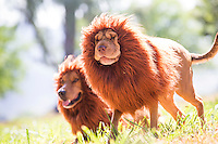 Two dogs dressed in lion costumes for Halloween walk in a grassy sunlit patch along O'ahu's North Shore.