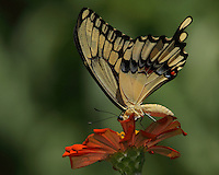 Giant Texas swallowtail as it seems to be 'peeking' around petals edge at me..