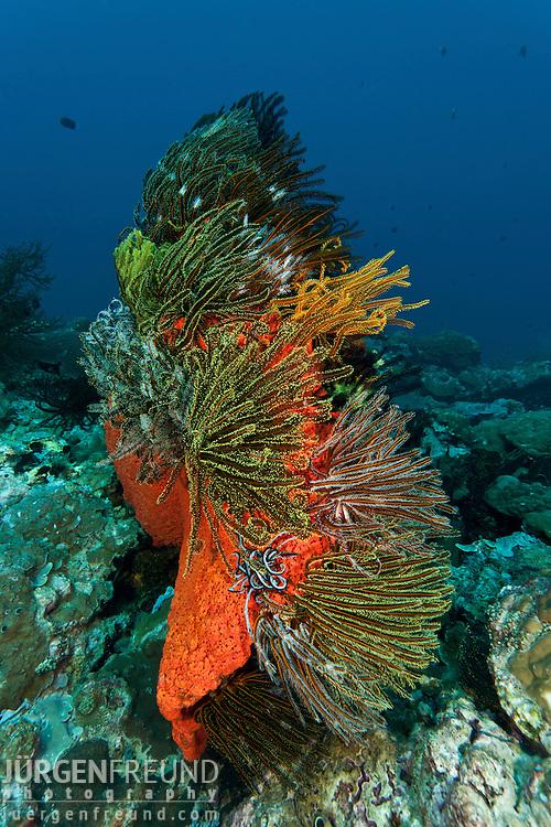 Marine sponge  (Agelas clathrodes) with crinoids or featherstars