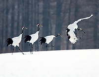 Four Japanese, or Red-crowned Cranes, dance accross a snowy field in Japan.