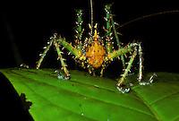 Katydid; Panacanthus; Ecuador, Prov. Esmeraldas, El Placer;