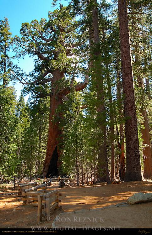 Grizzly Giant, Giant Sequoia, Sequoiadendron giganteum, Mariposa Grove of Giant Sequoias, Yosemite National Park