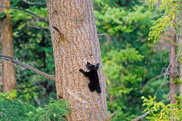 Black Bear cub on side of doug fir tree.  Western U.S., spring.