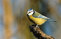 Blaumeise, Blau-Meise, Meise, Cyanistes caeruleus, Parus caeruleus, blue tit