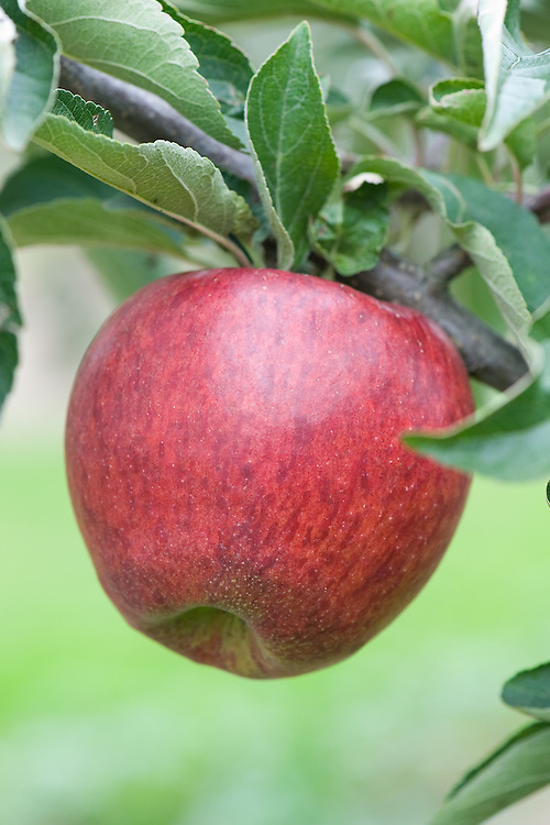 Apple 'Saltcote Pippin', mid September. An English dessert apple raised by James Hoad at Rye in Sussex. First recorded in 1918.