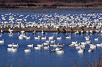Snow Geese (Chen caerulescens), crowds of birds on a lake animals, bird,. New Mexico, Bosque del Apache National Wildlife Refuge.
