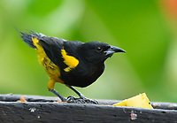 Black-cowled Oriole, Icterus prosthemelas, at a feeder in Sarapiquí, Costa Rica