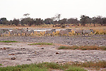 Zebra Herd by Waterhole in Moremi Game Reserve in Botswana in Africa