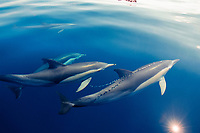 short-beaked common dolphins, Delphinus delphis, New Zealand, Pacific Ocean