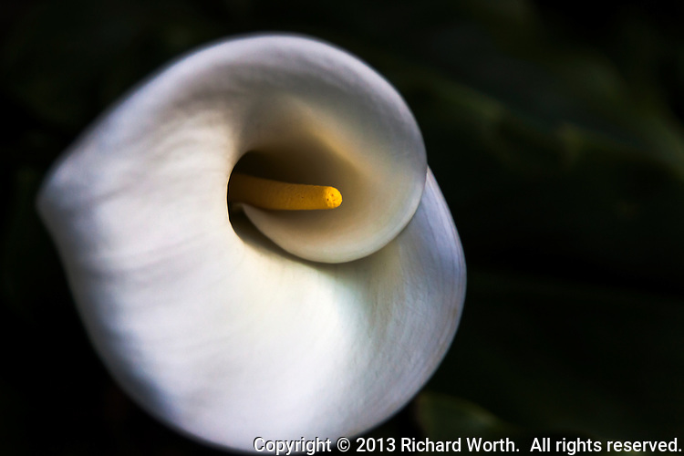 "Softly.  An early Calla lily blooms in ""The Yard"", late on a chilly February afternoon."