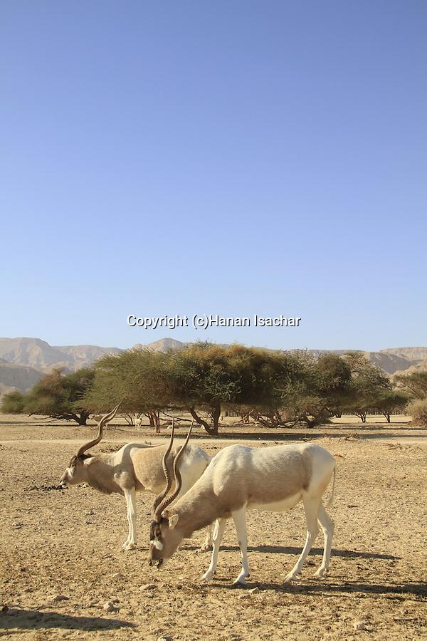 Israel, Arava, Addax at the Hai Bar, the National Biblical Wildlife Reserve