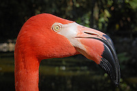 Flamingo at Flamingo Gardens, a 60-acre Botanical Paradise & Wildlife Sanctuary, not-for-profit organization, featuring a free-flight Aviary and Bird of Prey Center, Davie, Florida, USA. Photo by Debi Pittman Wilkey