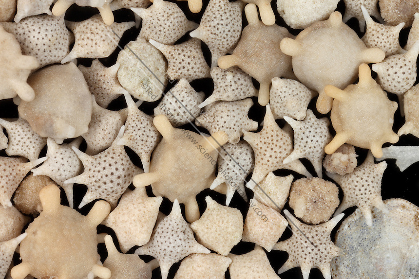 Star sand is the  exoskeleton of foraminifers  found on beaches of the Indo-Pacific.  These are protozoa that belong to the Foraminifera family. The shell is made of calcium carbonate, when they die, their star shaped exoskeleton washes up on the beaches in enormous numbers. Magnification is 4x at 35mm..