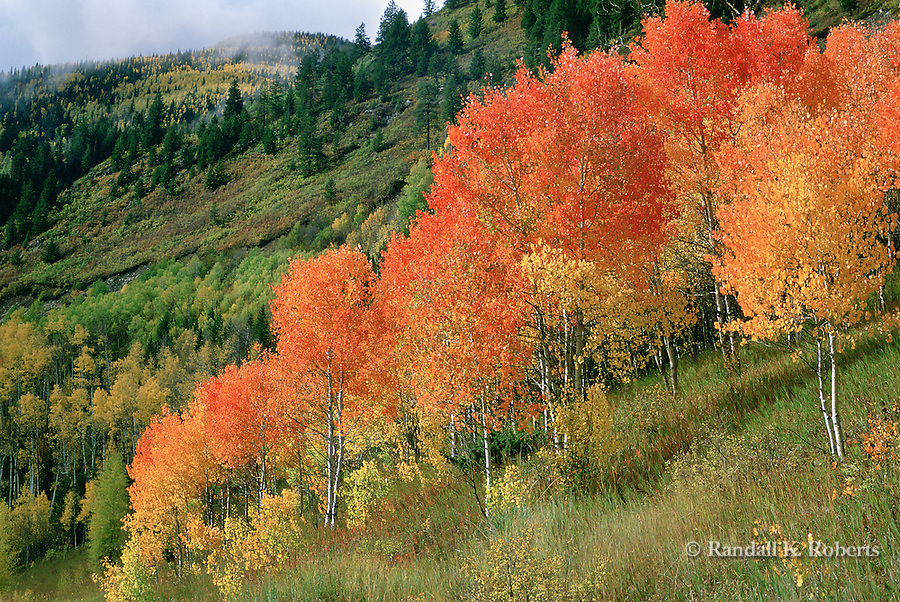 Red Aspens, Elk Mountains of Colorado