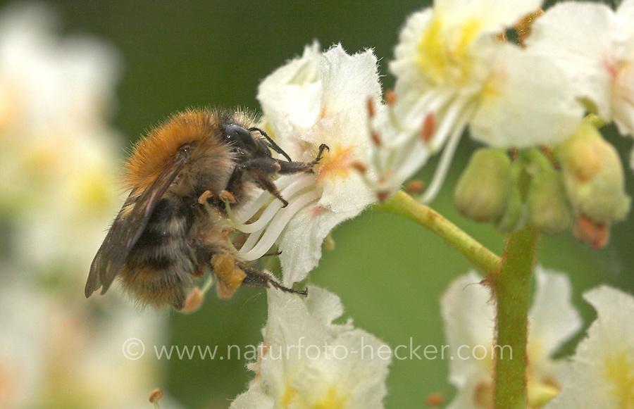 Ackerhummel, Acker-Hummel, Bombus pascuorum, an den Blüten der Rosskastanie, Aesculus hippocastanum, Blütenbestäubung, Nektarsuche, common carder bee