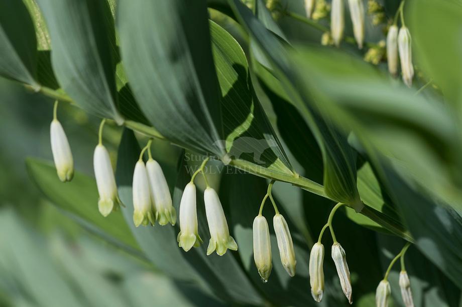 Duinsalomonszegel (Polygonatum odoratum)