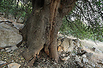 The Golan Heights. Kermes Oak (Quercus calliprinos) on Mount Betarim, the location of the covenant between the pieces