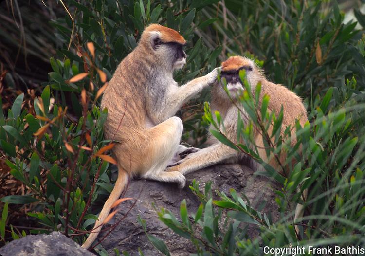 patas monkies, grooming, captive at San Francisco Zoo