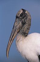 Wood Stork, Mycteria americana, adult, Lake Corpus Christi, Texas, USA