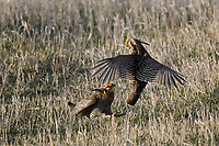 Greater Prairie Chickens on  a lek in Nebraska.