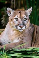 Florida panther (Puma concolor coryi), endangered species, Florida.