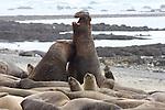 bull elephant seals fight in harem