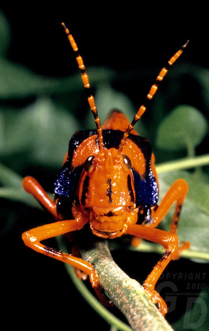 Images from the Book Journey Through Colour and Time,The Leichard Grasshopper only found in Arnhem Land, Northern Territory,of Australia