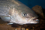 Striped Bass close-up facing right