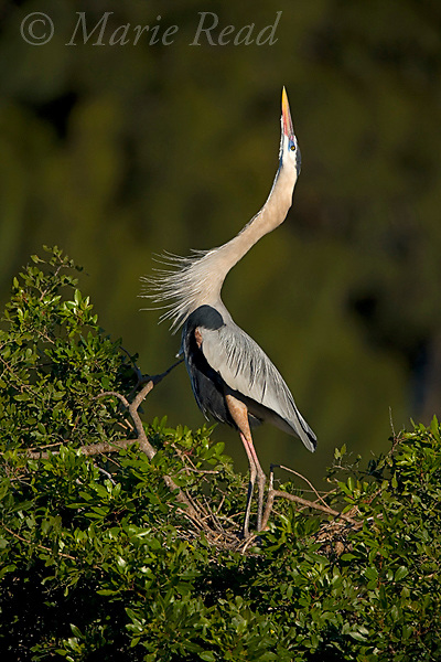 "Great Blue Heron (Ardea herodias) performing courtship display, ""stretch"" display, Florida, USA"