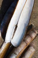 Amerikanische Scheidenmuschel, Gerade Scheidenmuschel, Amerikanische Schwertmuschel, Schaleninnenseite, Schale, Muschelschale am Strand, Spülsaum, Ensis leei, Ensis directus, Ensis americanus, Atlantic jackknife , bamboo clam, American jackknife clam, razor clam